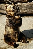Mendicant Bär