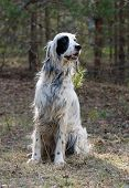 picture of english setter  - Portrait of a english setter vertical outdoors - JPG