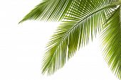 Part of palm tree on white background