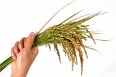 Sheaf Of Rice