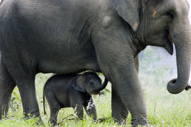 pic of baby animal  - Mother elephant and her calf are walking together - JPG