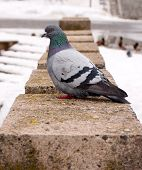 image of pigeon  - A grey pigeon sitting on the old street fence - JPG