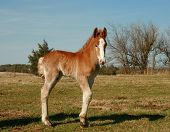 pic of clydesdale  - curious young Clydesdale stud colt on a spring Texas pasture - JPG
