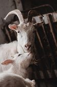 White Goats In Barn. Goat Mother With Baby Walking On Barn poster