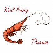 Hand Drawn Engraved Ink Shrimp Or Prawn Illustration Isolated On White. Colored Sketch Of Realistic  poster