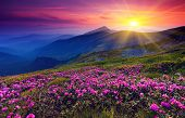 stock photo of cloud forest  - Magic pink rhododendron flowers on summer mountain - JPG