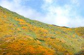 Bright Orange Vibrant Vivid Golden California Poppies, Seasonal Spring Native Plants Wildflowers In  poster