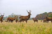 Rebanho de Red Deer Stags e faz no Outono Outono Prado
