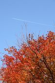 Red Maple And Blue Sky