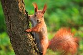 Beautiful Fluffy Squirrel Sitting On The Tree In The City Park poster
