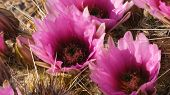 Strawberry Hedgehog Cactus Flowers At Organ Pipe Cactus National Monument In Arizona poster