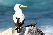 Piquero enmascarado y Iguana, Galápagos