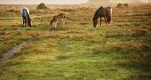 stock photo of hackney  - Mare and foal of New Forest pony grazing in landscape lit by warm sunrise - JPG