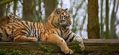 Female Tiger Tigress Laying Down With Cub Behind