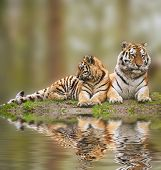 picture of tigress  - Beautiful tigress relaxing on grassy hill with cub reflection in water - JPG