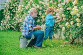 Gardening - Grandfather Gardener In Sunny Garden Planting Roses. Spring And Hobbies. Grandfather Wor poster