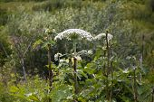 Giant Hogweed Plant Giant Hogweed Sosnowski, Growing In The Field, Heracleum Manteggazzianum poster