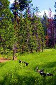 Lush Field Besides An Alpine Evergreen Forest Taken In The Rural Sierra Nevada Mountains, Ca poster
