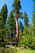 Giant Sequoia Trees Besides An Alpine Meadow Taken At An Evergreen Forest In The Rural Sierra Nevada poster