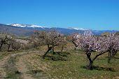 Almond trees, Sierra Nevada, Andalusia, Spain.