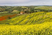 Tuscany landscape with blooming rapeseed near Siena, Italy