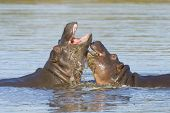 pic of hippopotamus  - Two young Hippos playing in the water in South Africa - JPG