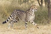 Female King Cheetah (acinonyx Jubatus), South Africa