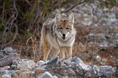 picture of coyote  - coyote looking towards camera in death valley - JPG