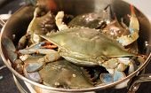 foto of cooked blue crab  - Blue crabs in silver pan about to  be cooked - JPG