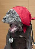 Neapolitan Mastiff puppy with vet's cap and stethoscope