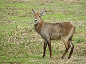 608 Young Waterbuck Grazing