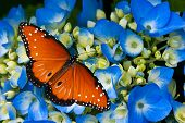 stock photo of hydrangea  - Queen butterfly  - JPG