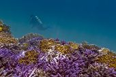 stock photo of fire coral  - coral reef with violet hard corals yellow fire corals and diver in tropical sea  - JPG