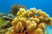 coral reef with great yellow soft coral at the bottom of red sea