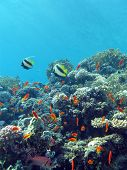 foto of fire coral  - coral reef with hard and fire coral and exotic fishes at the bottom of tropical sea     - JPG