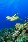 image of sea-turtles  - Hawksbill Turtle on a Red Sea coral reef - JPG
