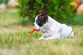 stock photo of bulldog  - French bulldog puppy eating carrot - JPG