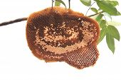 Beehive On Tree Branch Isolated White Background