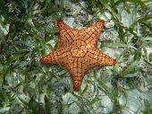 Starfish In Blue Water Caribbean Island, Panama. Central America.