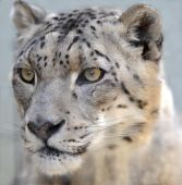 Snow Leopard 9