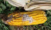 stock photo of penicillium  - corn rot  - JPG