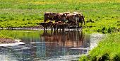 Cows Close To River