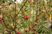 Wild Rose Hip(briar) Shrub In Nature