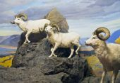 Thinhorn Sheep Trio
