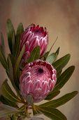 Pink Protea Proteaceae Flower