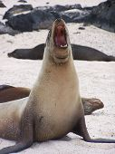 picture of sea lion  - A typical Sea Lion in Galapagos Islands - JPG