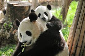 image of baby animal  - giant Panda and baby playing in Chengdu Breeding centre China  - JPG