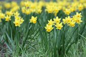 stock photo of jonquils  - Details of a group of spring flowers the jonquil or rush daffodil - JPG