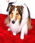 LOS ANGELES - MAR 5:  Lassie at the