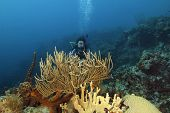 Scuba Diver Examining A Coral Reef - Bonaire